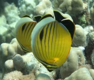 Butterflyfish-576x491